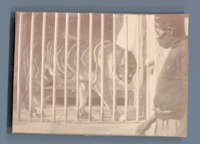 Egypte, Caire, Zoo. Tigre  Vintage citrate print.  Tirage citrate  6x8  Ci