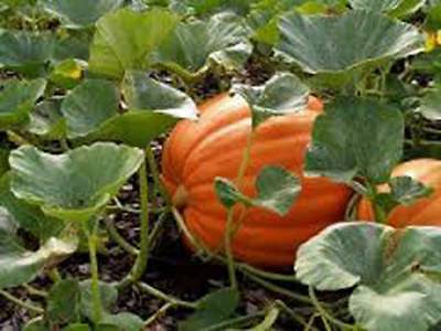 Pumpkin Seed, Mammoth Gold, Heirloom, Organic, Non Gmo 100 Seeds, Large Pumpkins