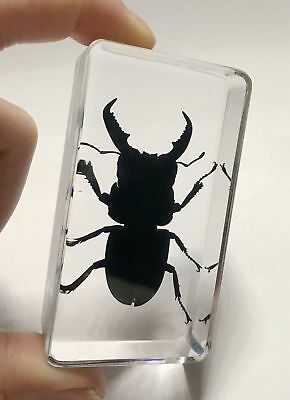 Chinese in Clear Acrylic Lucite Insect Specimen Longhorn Black Stag Beetle