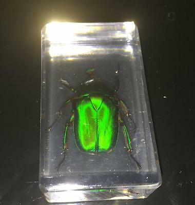 Chinese in Clear Acrylic Lucite Insect Collection Rose Chafer Beetle 7 * 4 * 2CM
