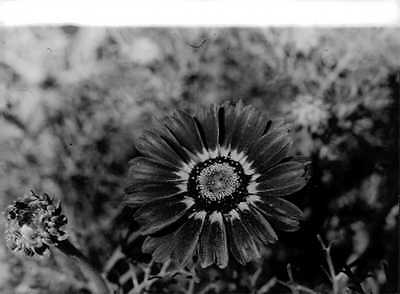Vintage photo of A blooming sunflower. -
