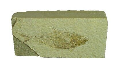 BUTW Natural Knightia  Herring Fish Fossil Kemmerer Wyoming USA 0059P