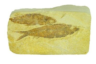 BUTW Natural Knightia  Herring Fish Fossil Kemmerer Wyoming USA 0116P