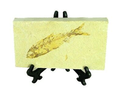 BUTW Natural Knightia  Herring Fish Fossil Kemmerer Wyoming USA 0078P