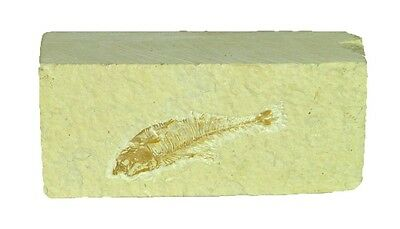 BUTW Natural Knightia  Herring Fish Fossil Kemmerer Wyoming USA 0056P