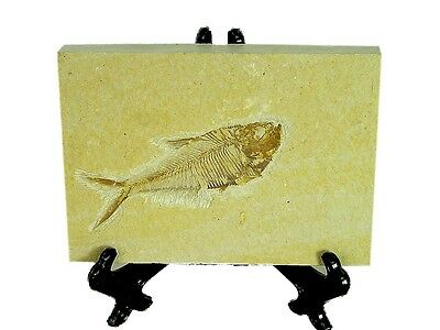 BUTW Natural Knightia  Herring Fish Fossil Kemmerer Wyoming USA 0104P