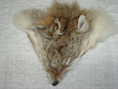#1 Quality Tanned Coyote Faces/Fur/Crafts/Real Coyote fur, not Fake