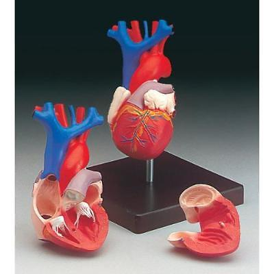 Anatomical Chart Co. Budget Life-Size Heart Model-CH7 New