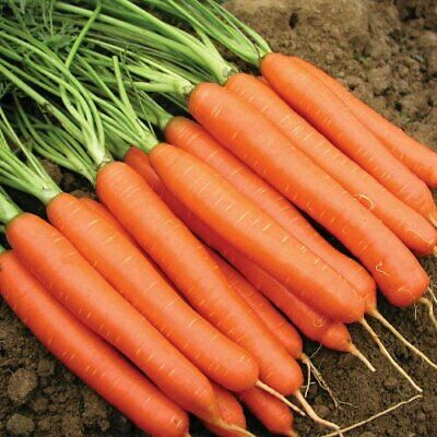 CARROT 'Chantenay Red Core' 200 vegetable garden cool climate HEIRLOOM easy grow