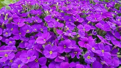 ROCK CRESS Purple 200 seeds GROUND COVER rockery cushion plant creeping Aubretia