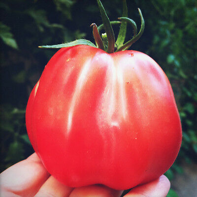 TOMATO Pink Oxheart Heirloom Seeds (V 226)
