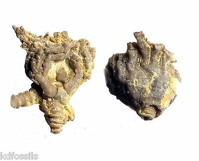 Ordovician Anthracocrinus Bromide Fm crinoid fossil Oklahoma calyx nice details