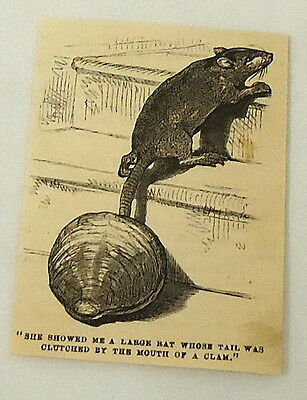 small 1881 magazine engraving ~ RAT WITH TAIL CAUGHT IN MOUTH OF CLAM