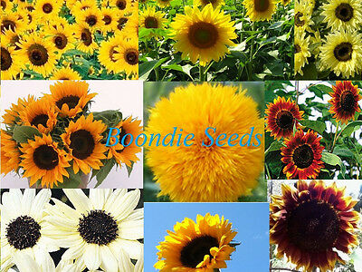 SUNFLOWER 'Mix' 50 seeds mixed colours EASY TO GROW flower garden spring summer