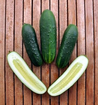 CUCUMBER 'Spacemaster' 15+ seeds ORGANIC vegetable garden GOOD FOR POTS bush