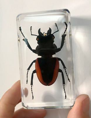 5 PCS Real Insects in Clear Resin Paper Weights Mountain Stag Beetle