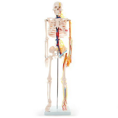 66fit Skeleton With Nerves & Blood Vessels - 85cm - Medical Training Aid