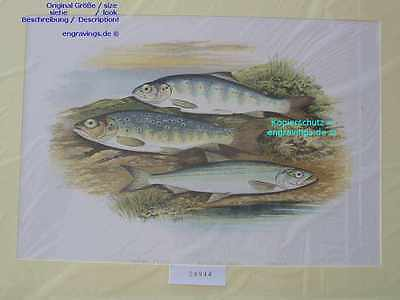 24944-FORELLE-TROUT-SALMON-SMELT-Houghton-British Fish-Lithographie