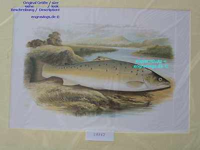 24942-FORELLE-TROUT-Houghton-British Fresh-Water Fishes-Lithographie