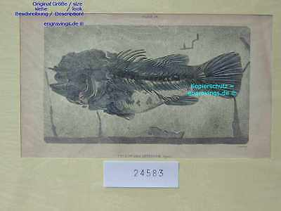 24583-Fische-Fishes-BARSCH-PERCH-Fossil-Angeln-Hand Koloriert-hand colored-1840