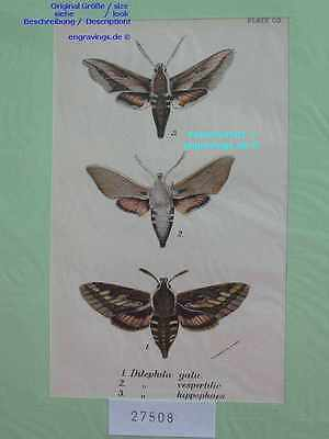 27508-Insekten-Insects-Butterfly-Schmetterling-Lithographie-Lithography-1895