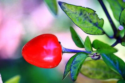 MINI CAPSICUM 'Red Cherry' 20 seeds UNUSUAL HEIRLOOM fruit garden vegetable