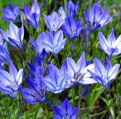 Triteleia Queen Fabiola 20 Bulbs Early Summer Flowering Ready To Dispatch Fp&p