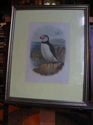 Puffin-Fratercula Arctica-Lithographie im Rahmen-Lithography Framed-1880