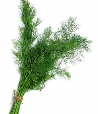 DILL 200 seeds HERB GARDEN vegetable kitchen culinary easy to grow NON GMO