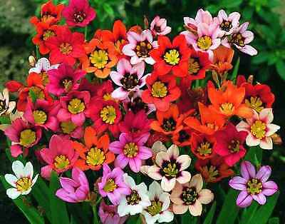 Sparaxis Tricolour Mixed 20 Bulbs Early Summer Flowering Ready To Ship Free P&p