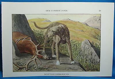 Vtg Scottish Deerhound Dog Print Louis Fuertes Natl Geographic Book of Dogs 1927