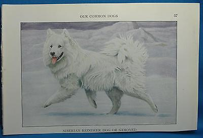 Samoyed Siberian Reindeer Dog Print Fuertes Natl Geographic Book of Dogs 1927