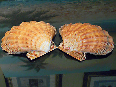 "Matching Pair Whole Orange Lions Paw Scallop 5-6"" Seashell Baking Smudging Craft"