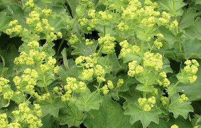 LADIES MANTLE 50+ seeds TRADITIONAL MEDICINAL HERB shade plant ALCHEMILLA MOLLIS