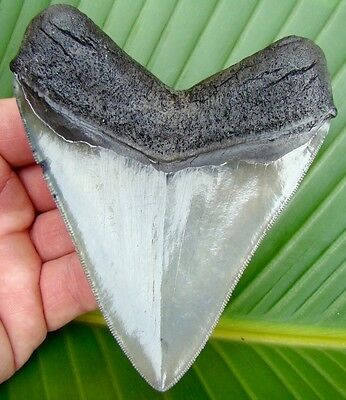 BIG - 4 & 7/16 in. * SUPERIOR QUALITY * Megalodon Shark Tooth - VENICE BEACH