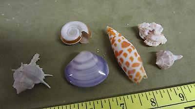 small size seashell collection lot conch and others nice clean ornate fancy