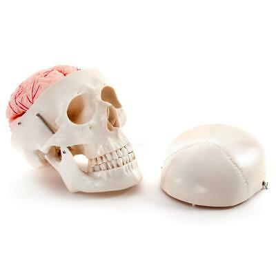 66fit™ Deluxe Life Size Human Skull With 8 Part Brain Anatomical Model