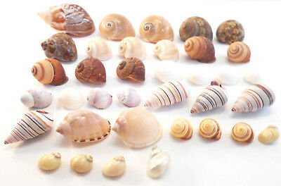 """35 Shell Hermit Crab Set Assorted for Small Hermit Crabs (1/4-1 1/4"""" opening)"""