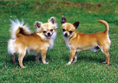 NEW Chihuahua Dogs Pet Placemat