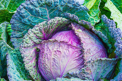 CABBAGE 'Purple Savoy' 150 seeds WINTER VEGETABLE GARDEN unusual FRENCH HEIRLOOM