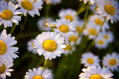 CHAMOMILE 'Roman' 150+ seeds HERB garden medicinal lawn creeping GROUNDCOVER