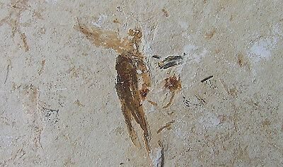 Large Fossil Insect - a VERY Rare Fossil With Stunning Detail - Brazil