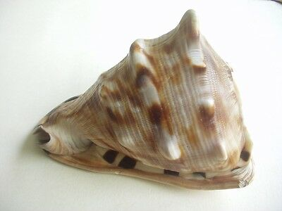 Horned Helmet Tiger Stripe Conch Shell ~Very Striking