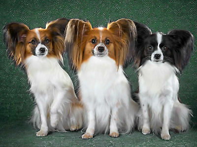 3D Picture Dogs Trio of Seated Papillon Dogs Size 39 x 29 cm approx New
