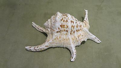 "Chiragra Spider Conch Large 8""- Harpago Lambis Chiragra Spiny Beach Seashell sea"