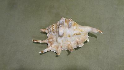 "Chiragra Spider Conch small 6""- Harpago Lambis Chiragra Spiny Beach Seashell sea"