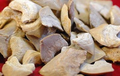 Wholesale Lot Of 20 Squalicorax Pristodontus Fossil Shark Tooth From Morocco