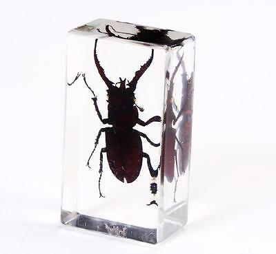 Stag Beetle Lucid Square Paperweights Charming Specimen