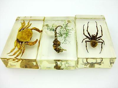 3 pcs real crab spider bug Paperweights charming Specimen