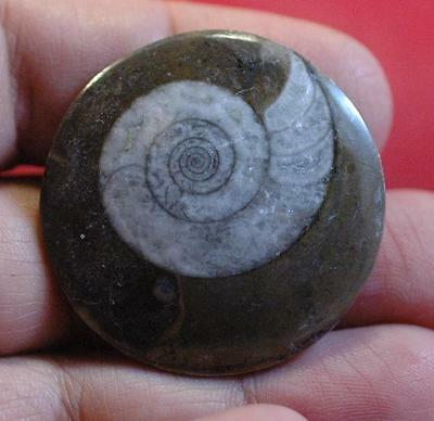 Wholesale Lot Of 10 Jewelry Ammonite Fossil Pendant From Morocco - No Hole